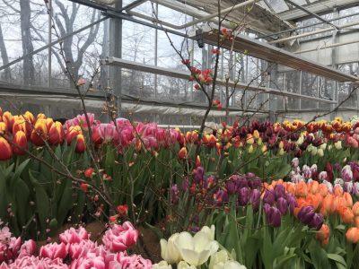 Оттенки тюльпанов