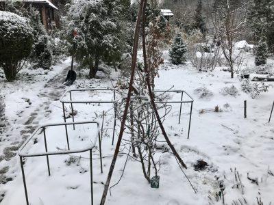 Защита магнолии на зиму