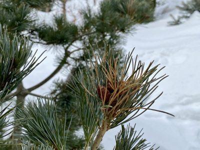 Сосна мелкоцветковая (Pinus parviflora Negishi)